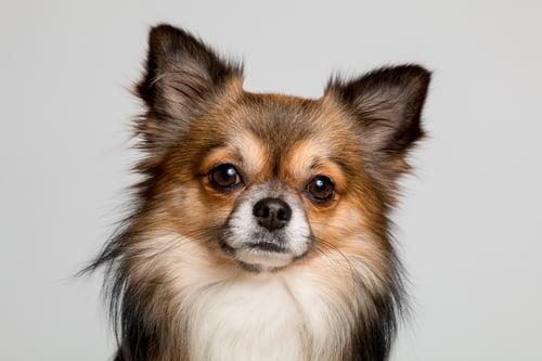 Perro. keratiina perrito