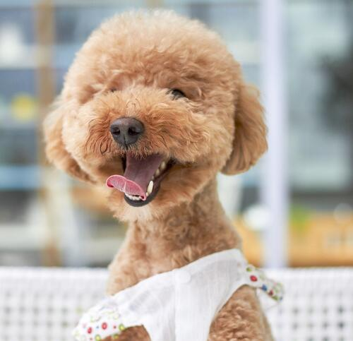 Perro. poodle redondo-1